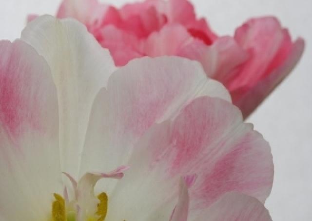 2011年春の流行色は「ピンク」 癒やし効果にも期待