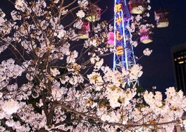 花やしきが誇る一本桜の下でお花見 閉園後の「夜桜ビアガーデン」