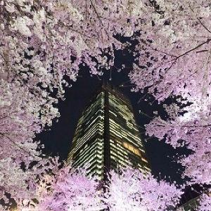 夜のライトアップは見逃せない!150の桜が舞う東京ミッドタウン恒例「Midtown Blossom2015」