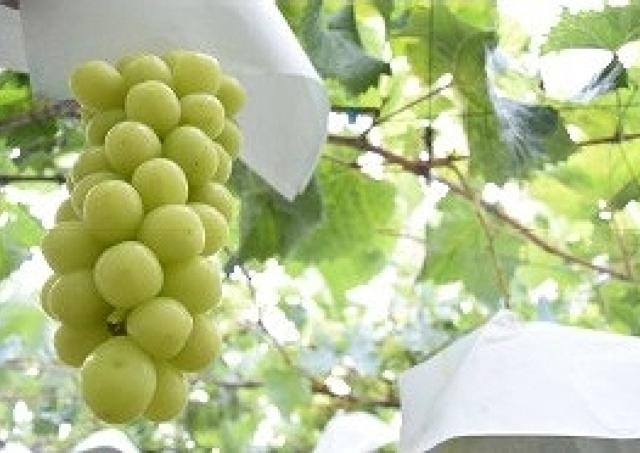 祝2周年!9月の「太陽のマルシェ」はブドウ、梨、リンゴ勢ぞろいの果実収穫祭!