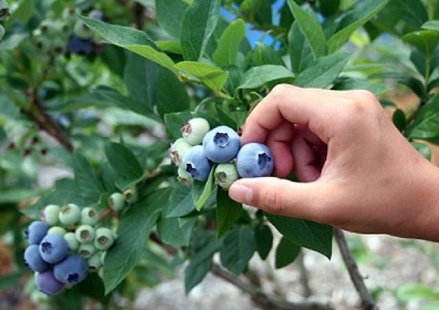農薬不使用 大粒で濃いブルーベリーが時間無制限で食べ放題