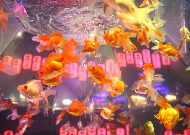 圧倒的迫力! 8000匹の金魚が鮮やかに舞う10周年のアートアクアリウムがスゴい