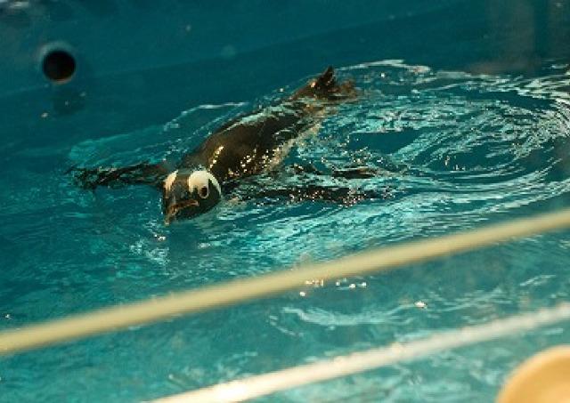 お酒と一緒にペンギン観賞 池袋に「ペンギンのいるBAR」がオープン
