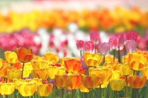 s-tulip0507.jpg