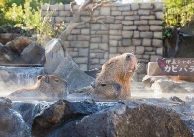 今年も開催!シャボテン公園でカピバラの露天風呂公開するよ~