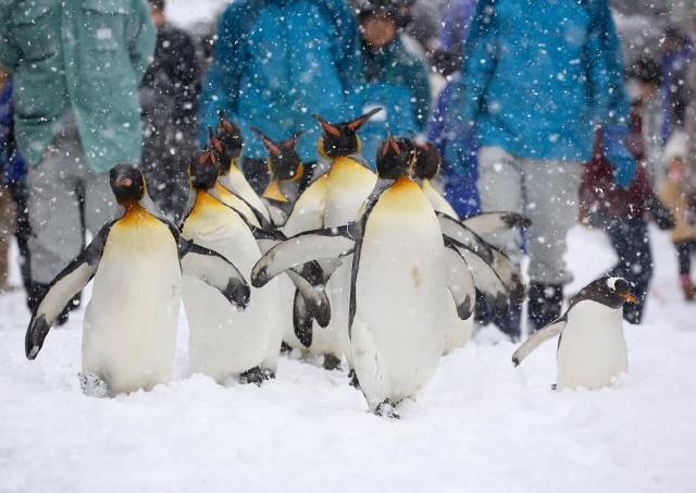 ただいま冬季開園中! 旭山動物園で寒さが得意な動物達を見てみよう