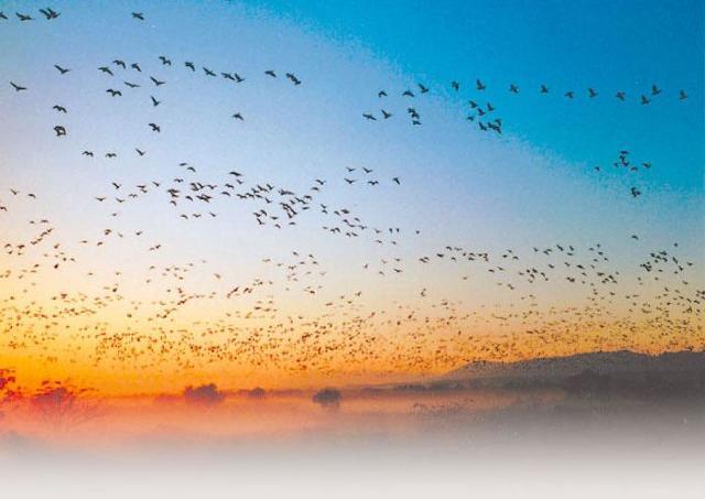 2万羽の雁が一斉に飛び立つ光景を見に行こう!