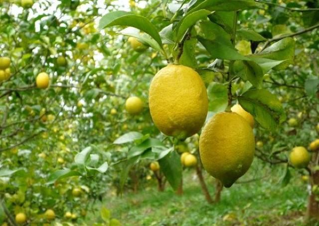 3種の発酵食を作ろう! 1日限りの「豊島レモンと塩こうじの教室」