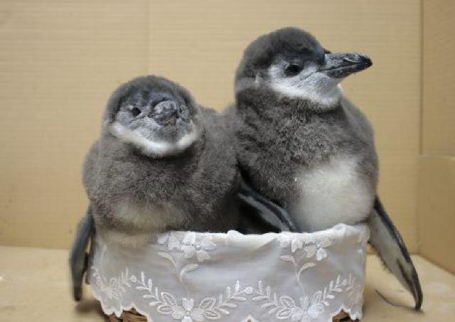 可愛いペンギンのヒナ、期間限定公開!