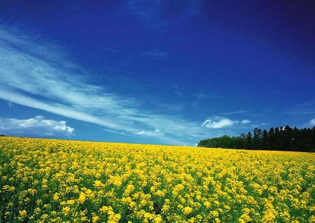 絵本のような世界を堪能! ひまわりの丘で「菜の花まつり」開催