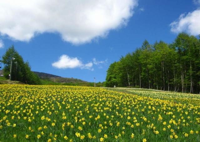 「希望の象徴」水仙55万株がいっせいに咲き誇る! 「えぼしすいせん祭り」開催中