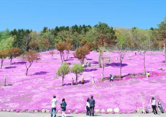 ピンクのじゅうたんが公園いっぱいに...! 芝ざくらまつり開催中