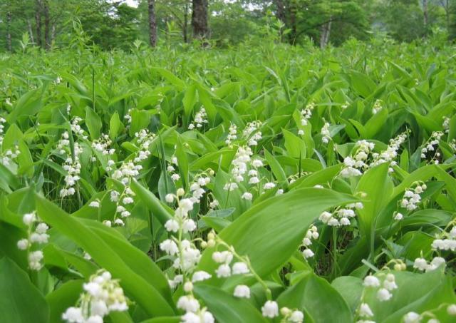 日本一の面積を誇るすずらん群生地で可憐な花を愛でよう。