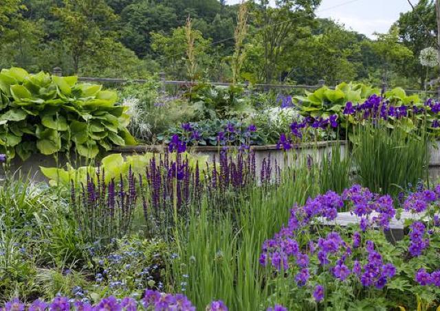 青い花の最盛期を見にきて。