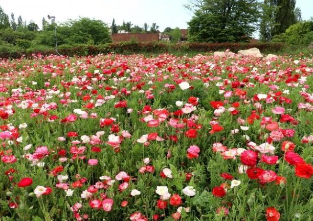 赤・白・ピンクと青空のコントラスト 初夏の風に揺れる250万本のポピー畑