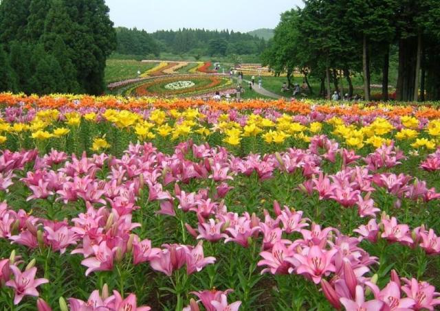 絵画のようなユリの群生!「南くりこま高原 一迫ゆり園」が今年も開園