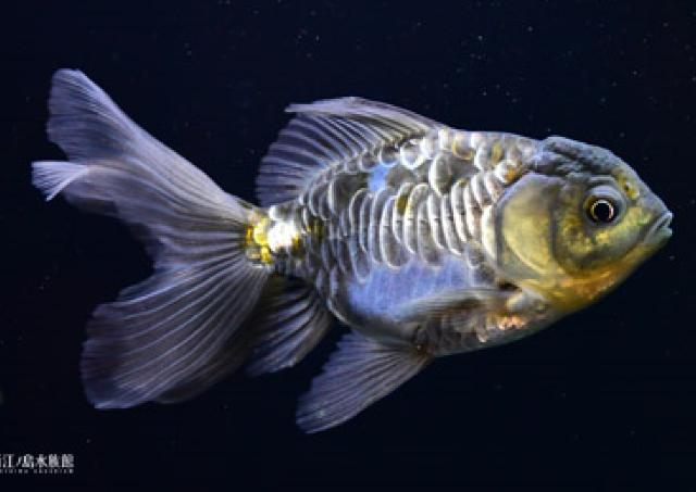 新江ノ島水族館に見た目も名前も珍しい金魚が大集結