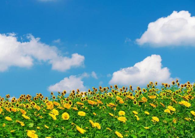 約15万本が咲き誇る 古墳が園内にある公園で「ひまわりウォーク」