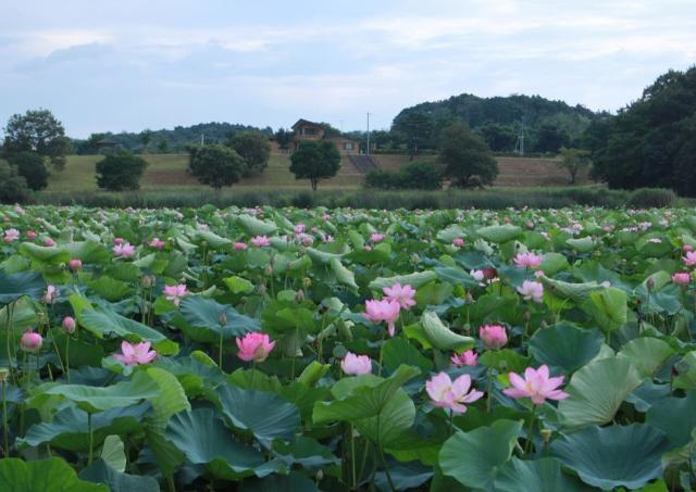 隠れた蓮の名所・切伏沼 咲き誇る季節が到来