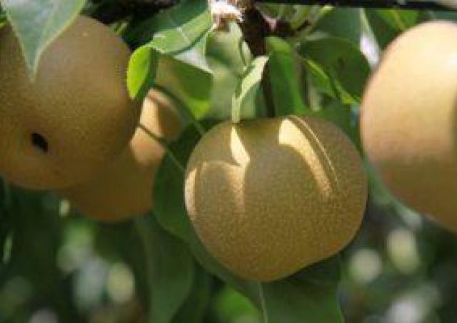 県内一生産量を誇る蔵王名物「梨」の販売イベント
