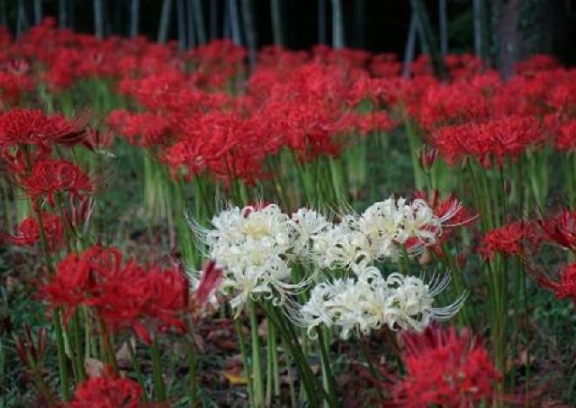 30万株を超える真っ赤な曼殊沙華で感じる秋の訪れ