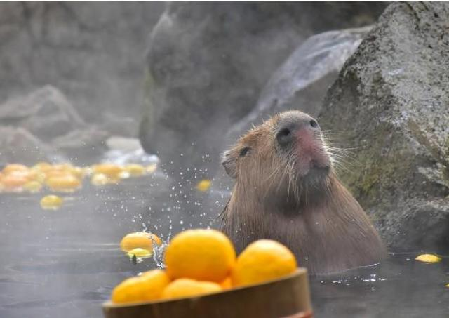 伊豆の冬の風物詩!38年目の「元祖カピバラの露天風呂」がスタート