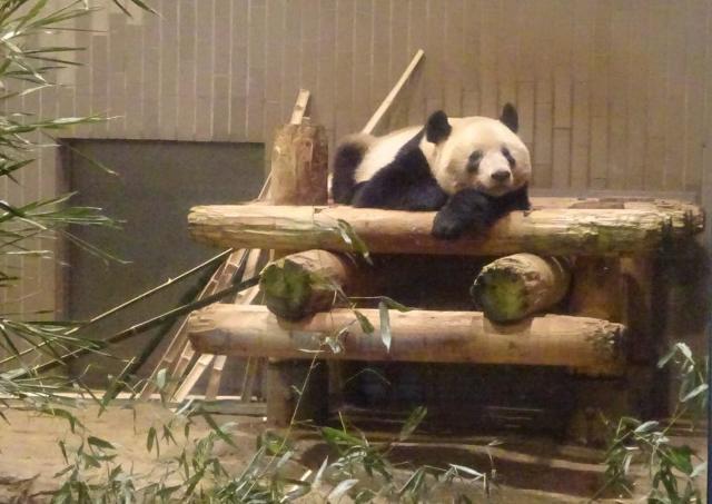 会いに行けるパンダ。シャンシャンのアイドルとしての使命感【辛酸なめ子の東京アラカルト#46】