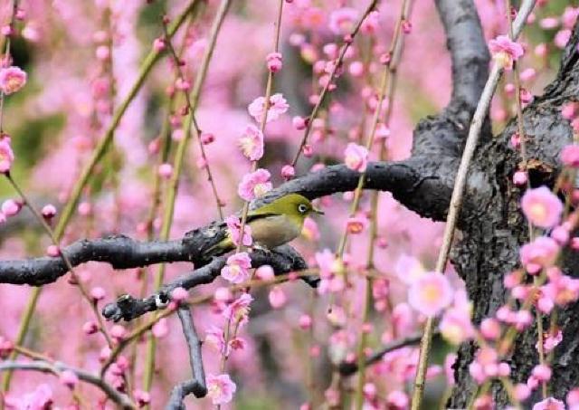 城南宮で美しいしだれ梅と椿が咲き誇る