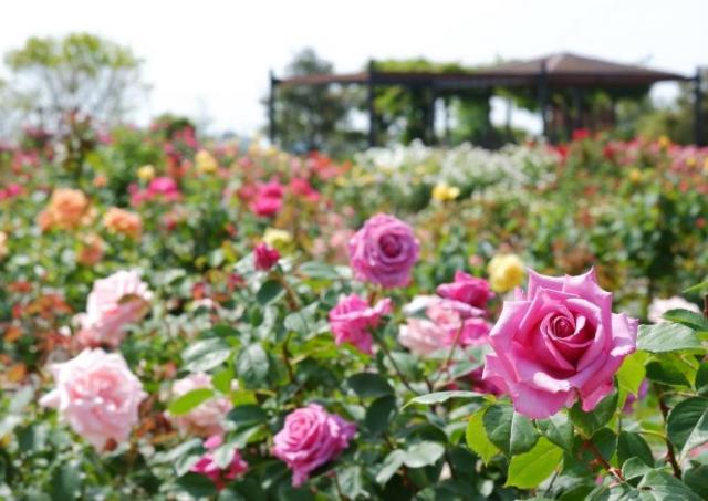 早朝開園!限られた人数でゆったりバラの花を楽しもう