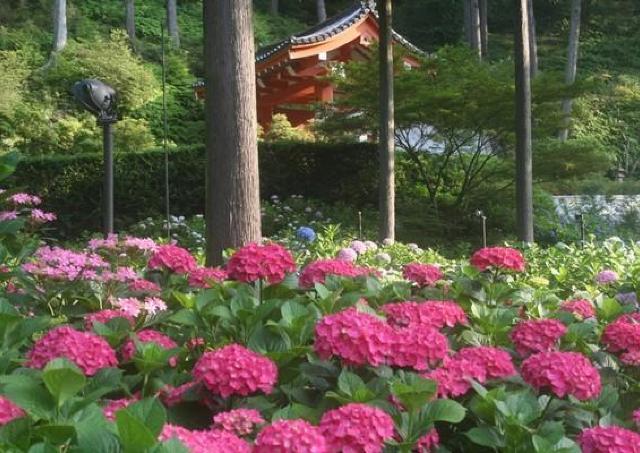 2万株のあじさいが咲き誇る美しい景色