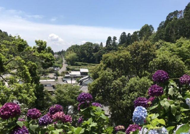 約5000株のあじさいが咲き誇る「柳谷観音あじさいウィーク2021」