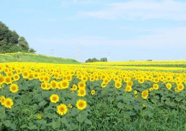 真夏を彩る太陽の花「ひまわり」が42万本!