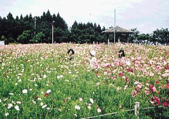 20万本が色とりどりに咲き乱れるコスモス園が今年も開園