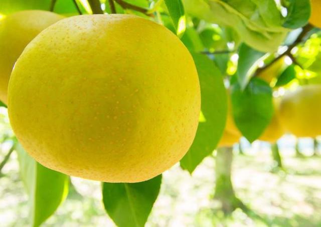 今年もやってきました!利府の梨の季節